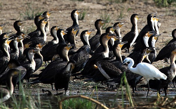 8 Days Uganda birding Safari