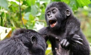 Gorilla safaris in Uganda
