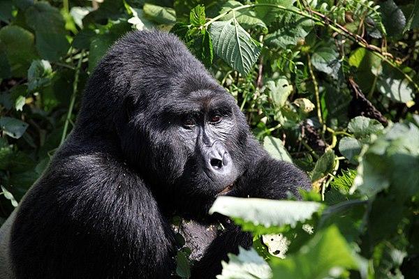 Gorilla trekking to Uganda