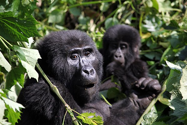 Uganda Tours to Gorilla Safaris Leave Travelers with Unforgettable Memories