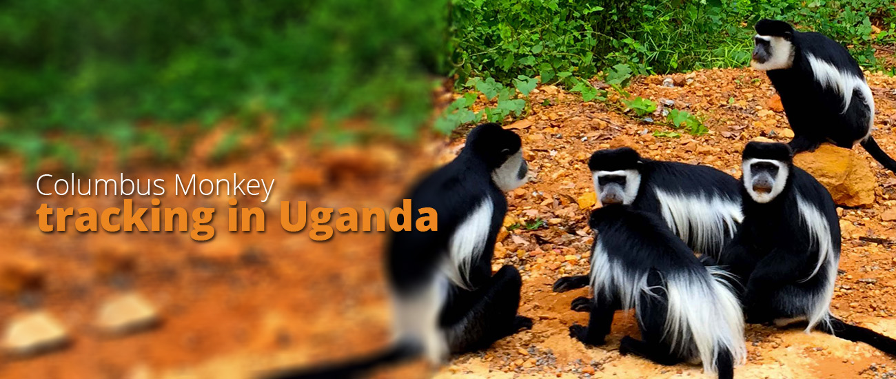 Golden Monkey and columbus money tracking in Uganda